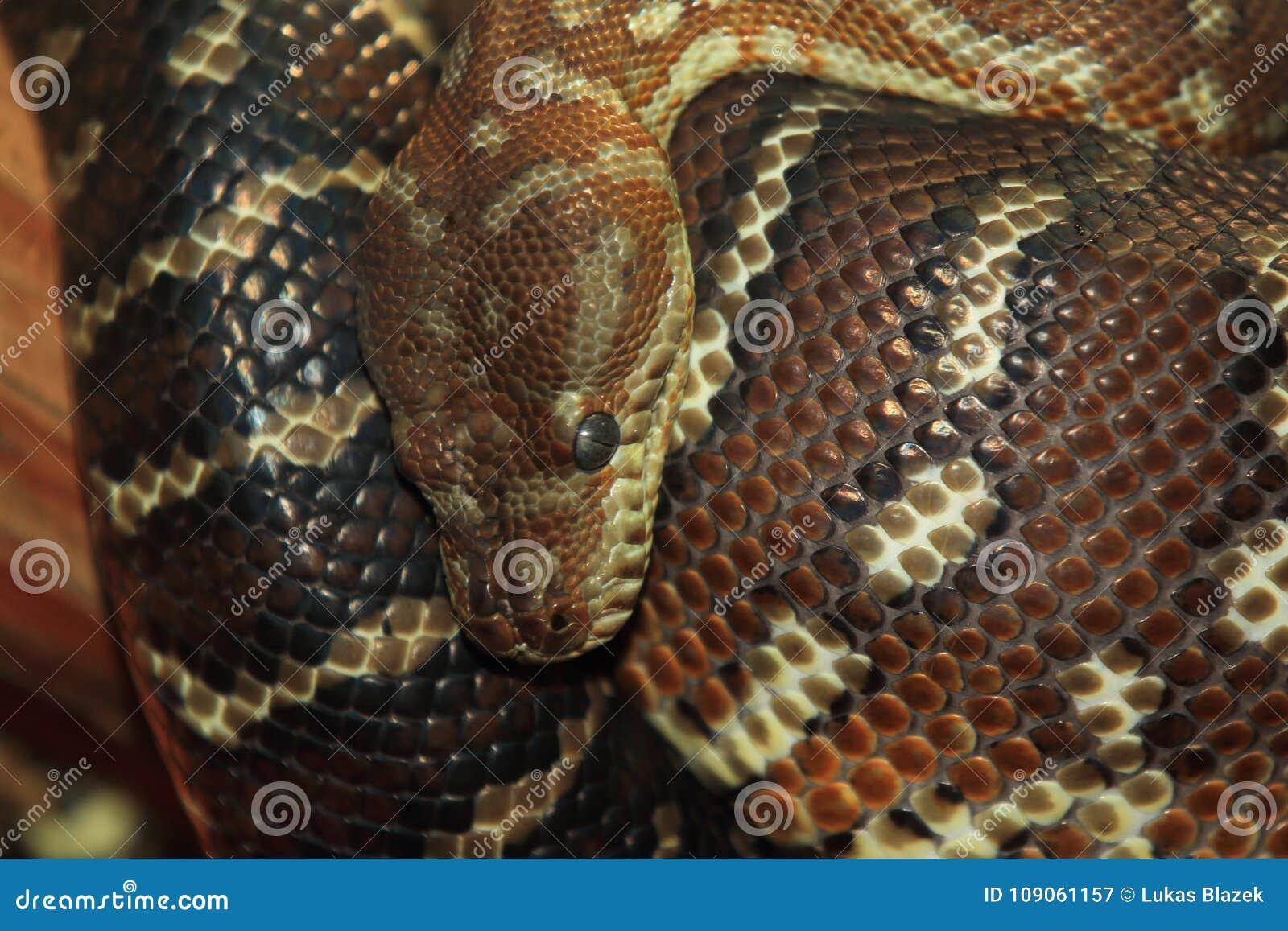 Bredl-Pythonschlange
