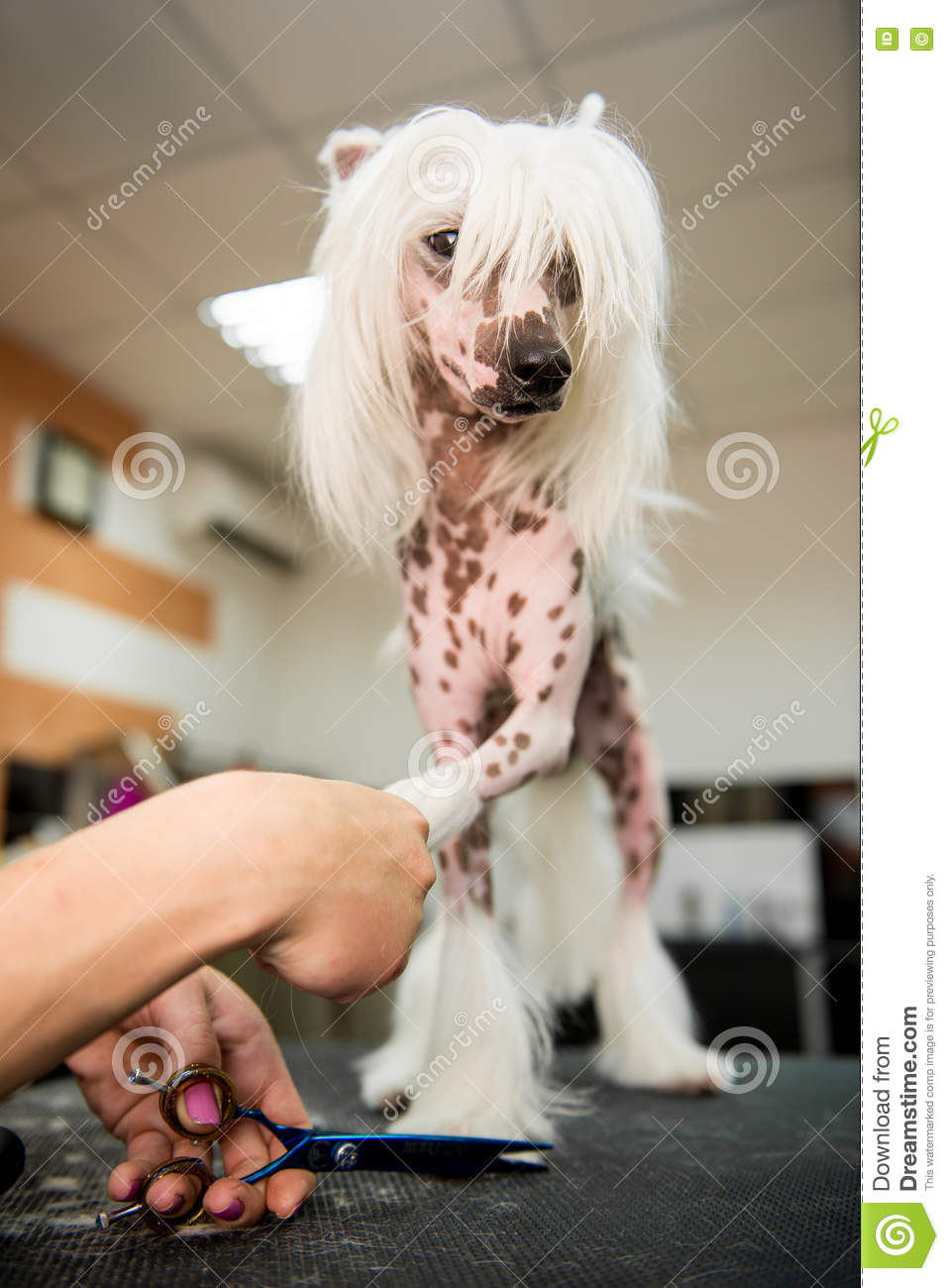 Breed Dog Grooming Chinese Crested Stock Image Image Of