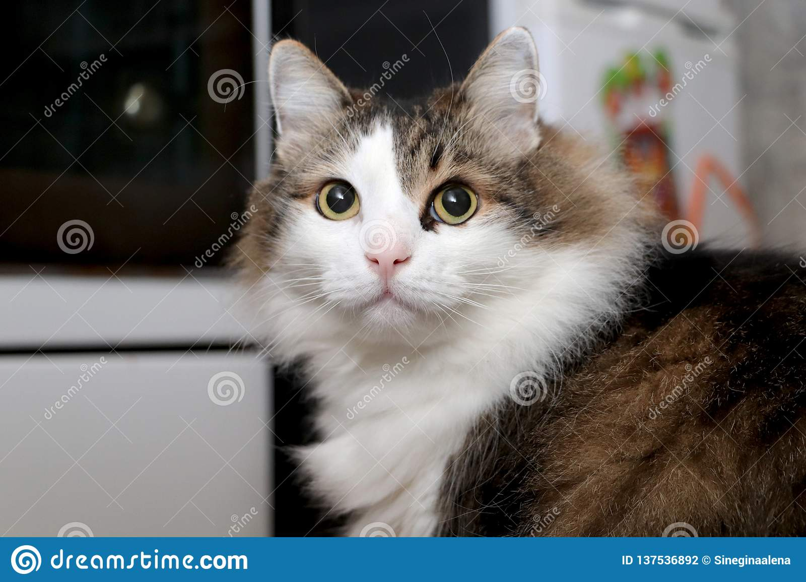 Breed Norwegian Forest Cat Stock Photo Image Of Home 137536892