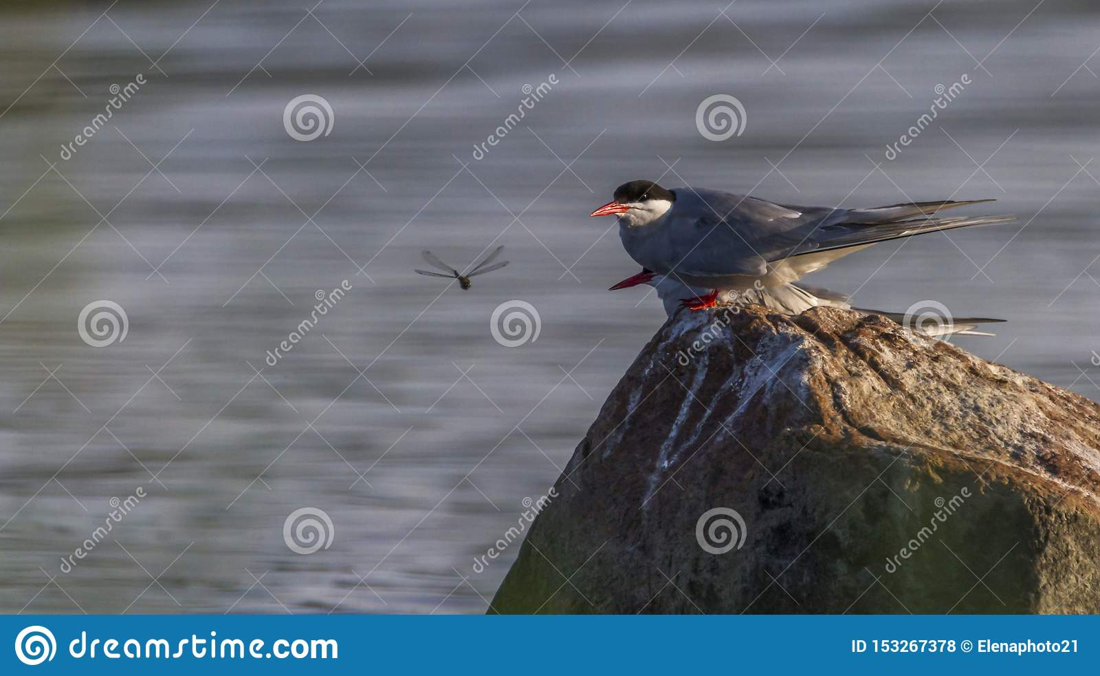 Breeding Adult Common Terns, Sterna hirundo, Kalmar, Sweden