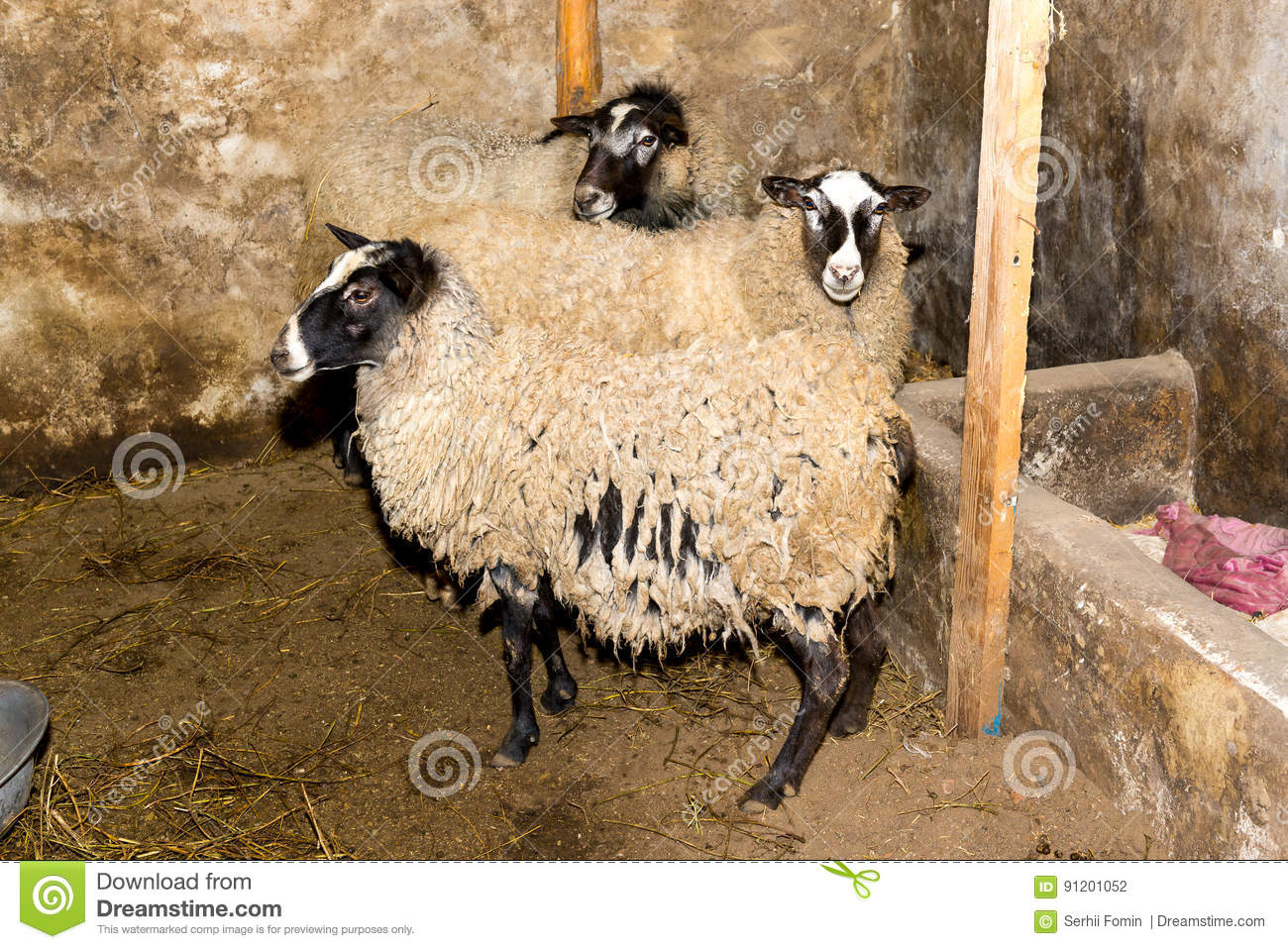 Breeding sheep on a farm. Sheep in the pen close-up.