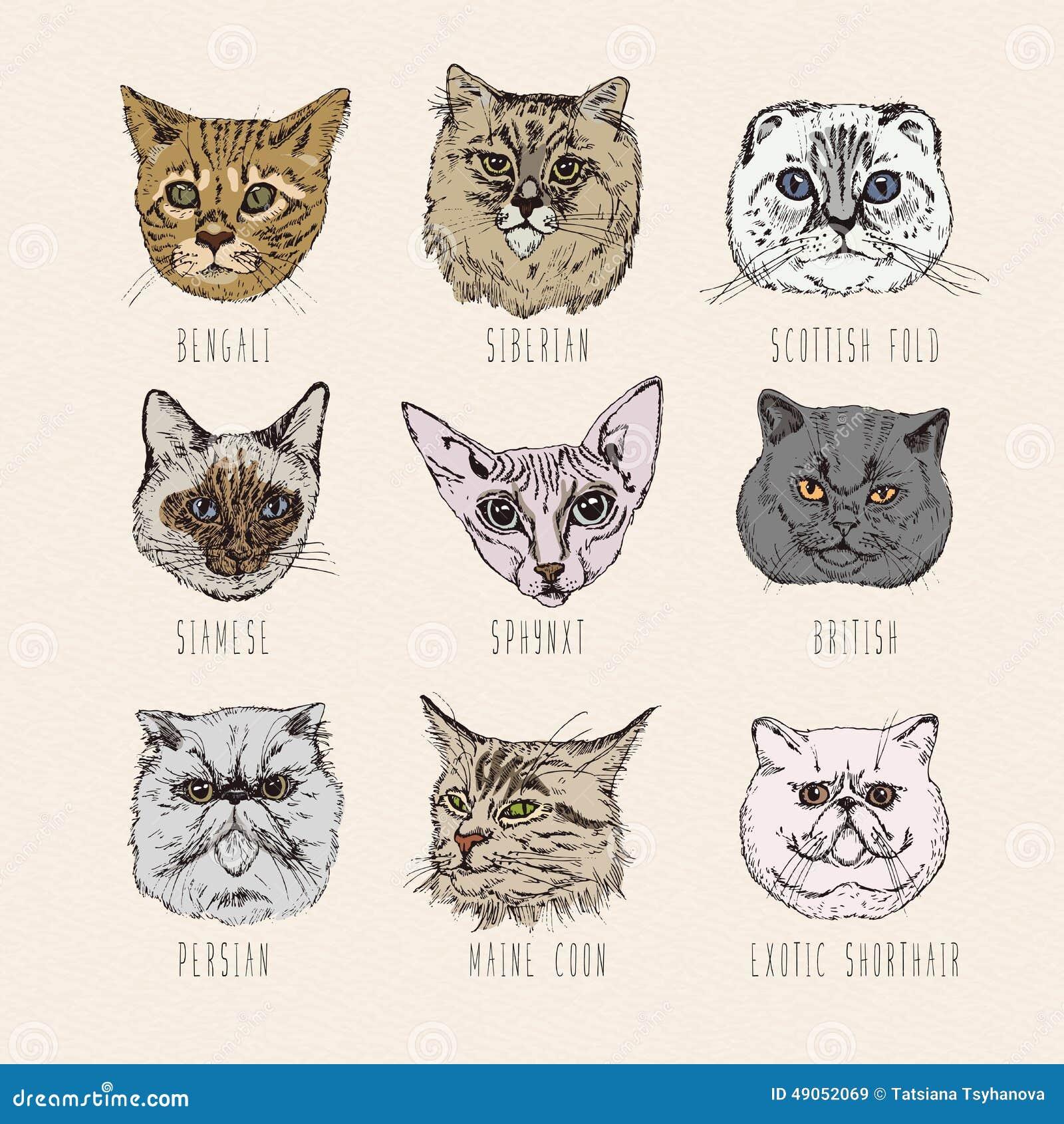 Breeds. Siamese, British, Siberian, Persian, Scottish Fold, Maine Coon ...