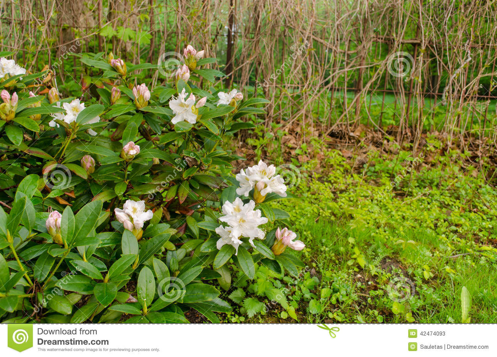 Breiter weißer Magnolienbusch-Landgarten