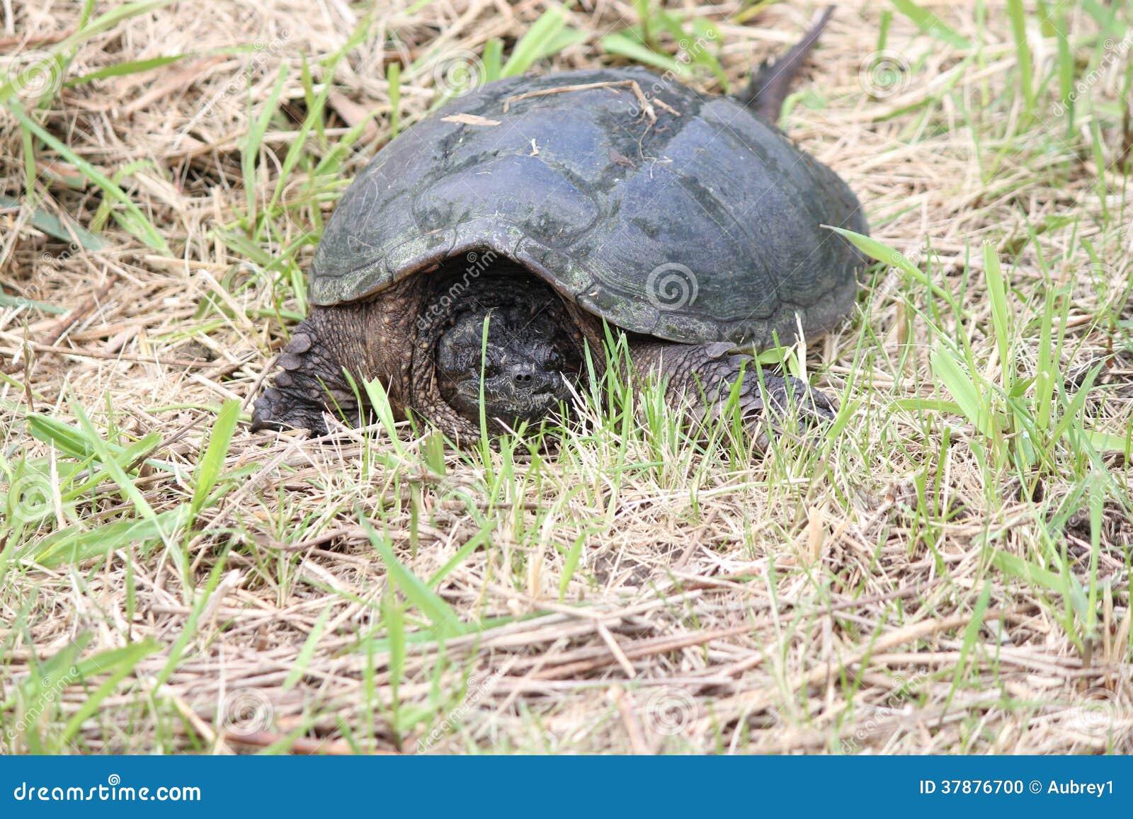 Brekende Gemeenschappelijke schildpad, - Chelydra-serpentina