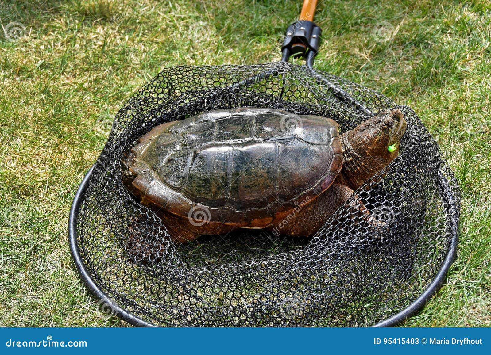 Brekende Schildpad In Visnet Stock Afbeelding Afbeelding Bestaande