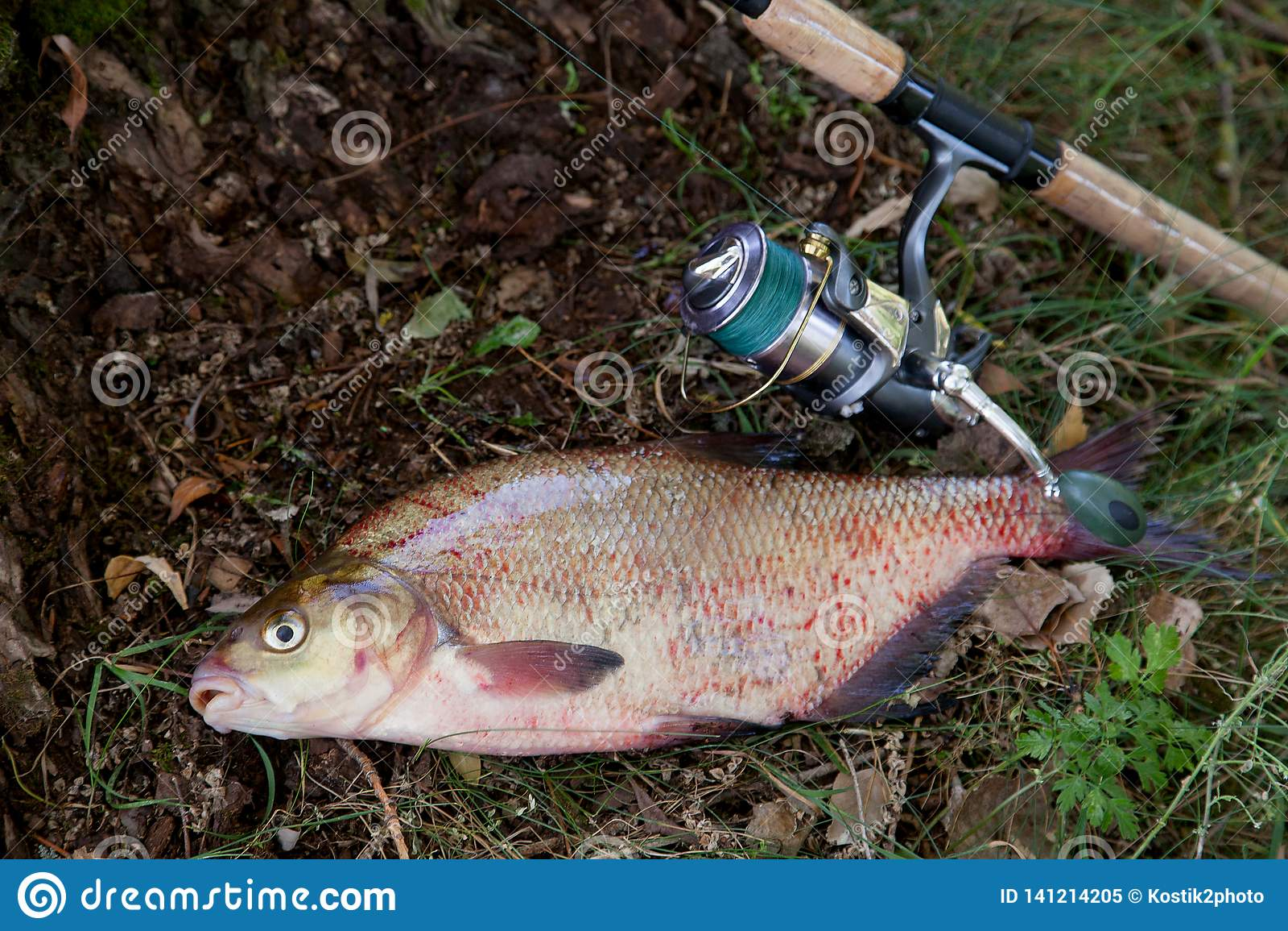 Brema y caña de pescar comunes de agua dulce grandes con el carrete en fondo natural
