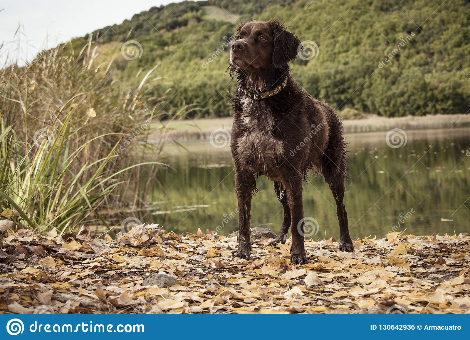 Breton hunting dog
