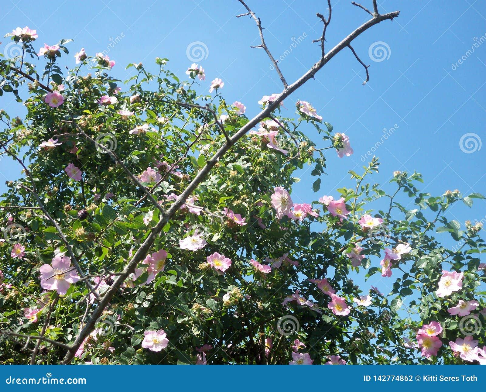 Briar-roze struik en blauwe hemel