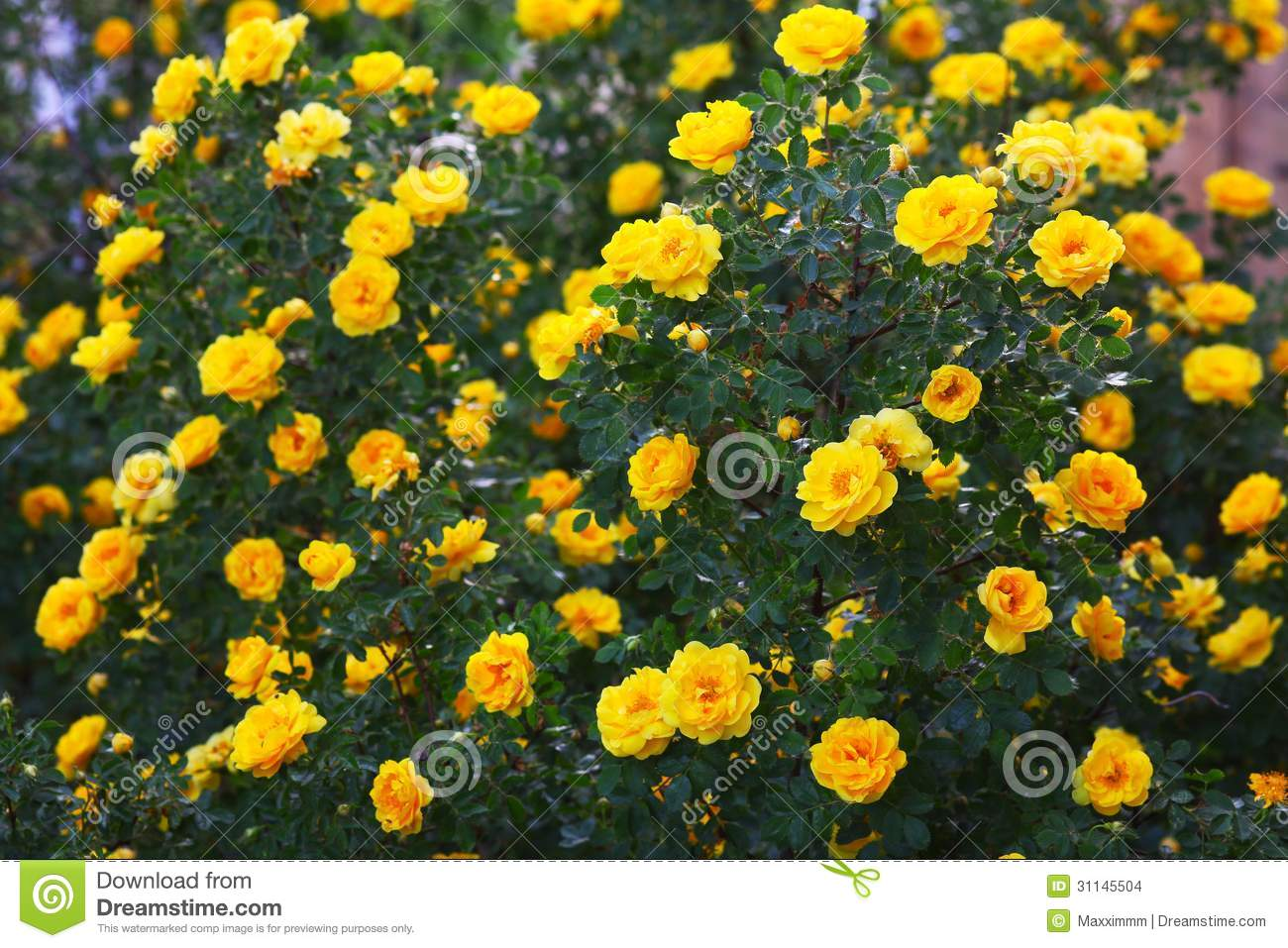 Briar yellow rose bush...