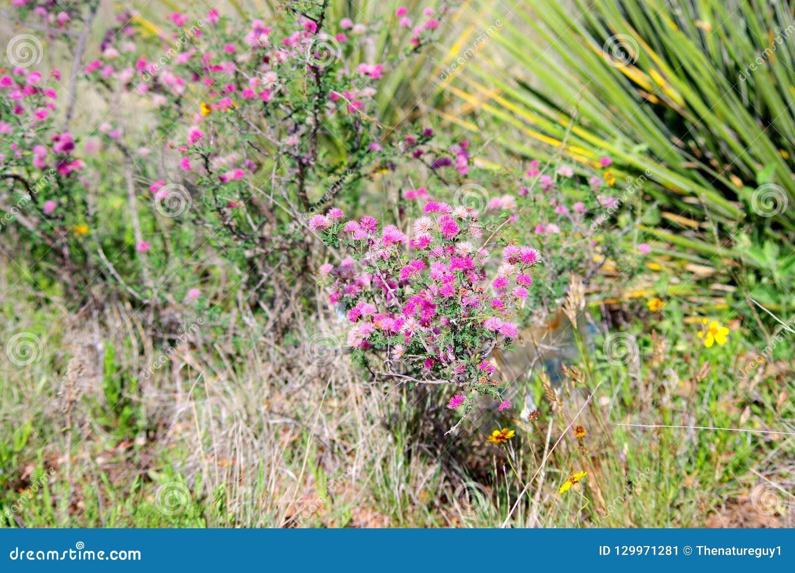Briaranlagenmimose microphylla Littleleaf empfindliches