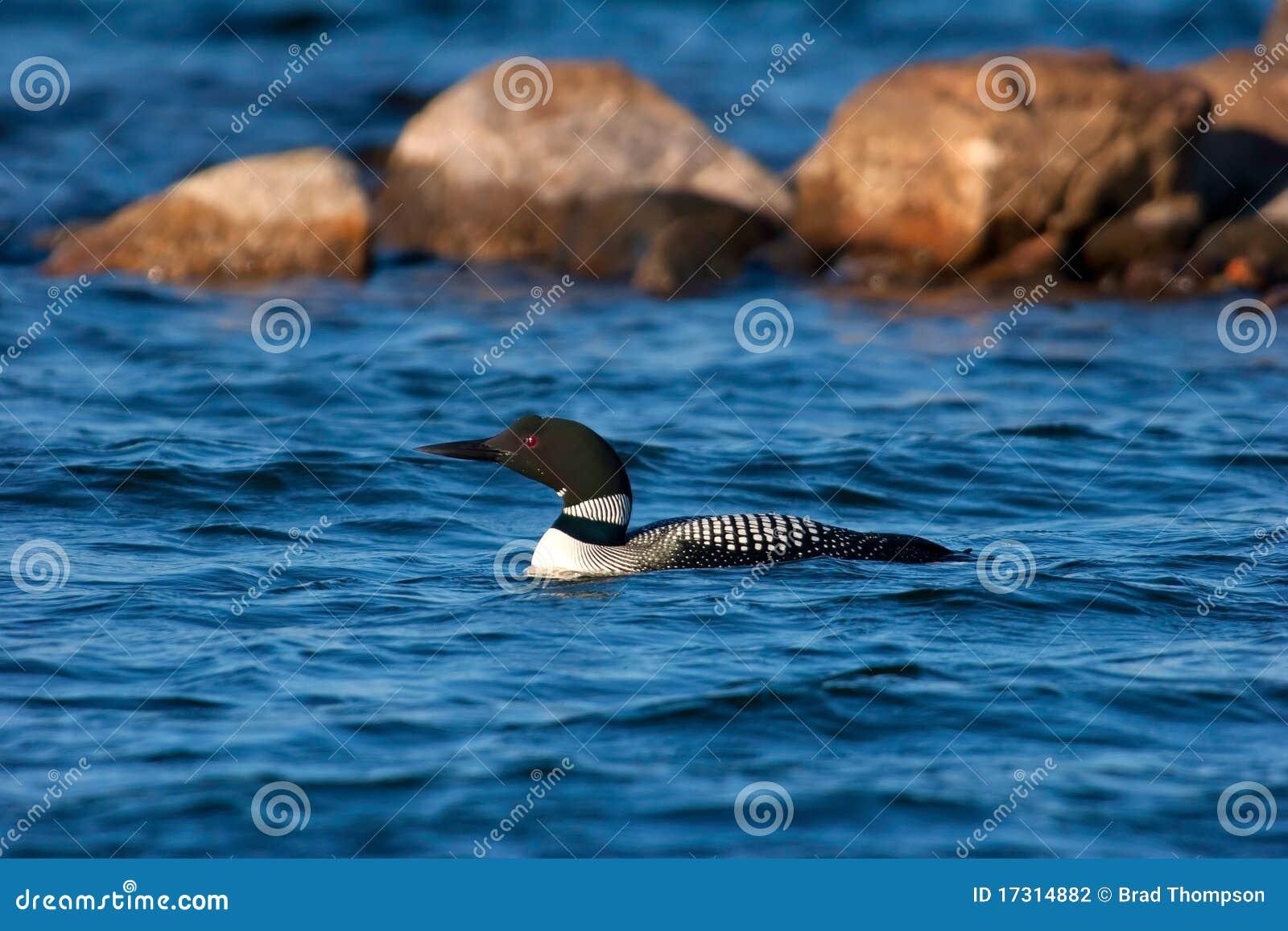 Bribón común adulto salvaje en el lago wisconsin