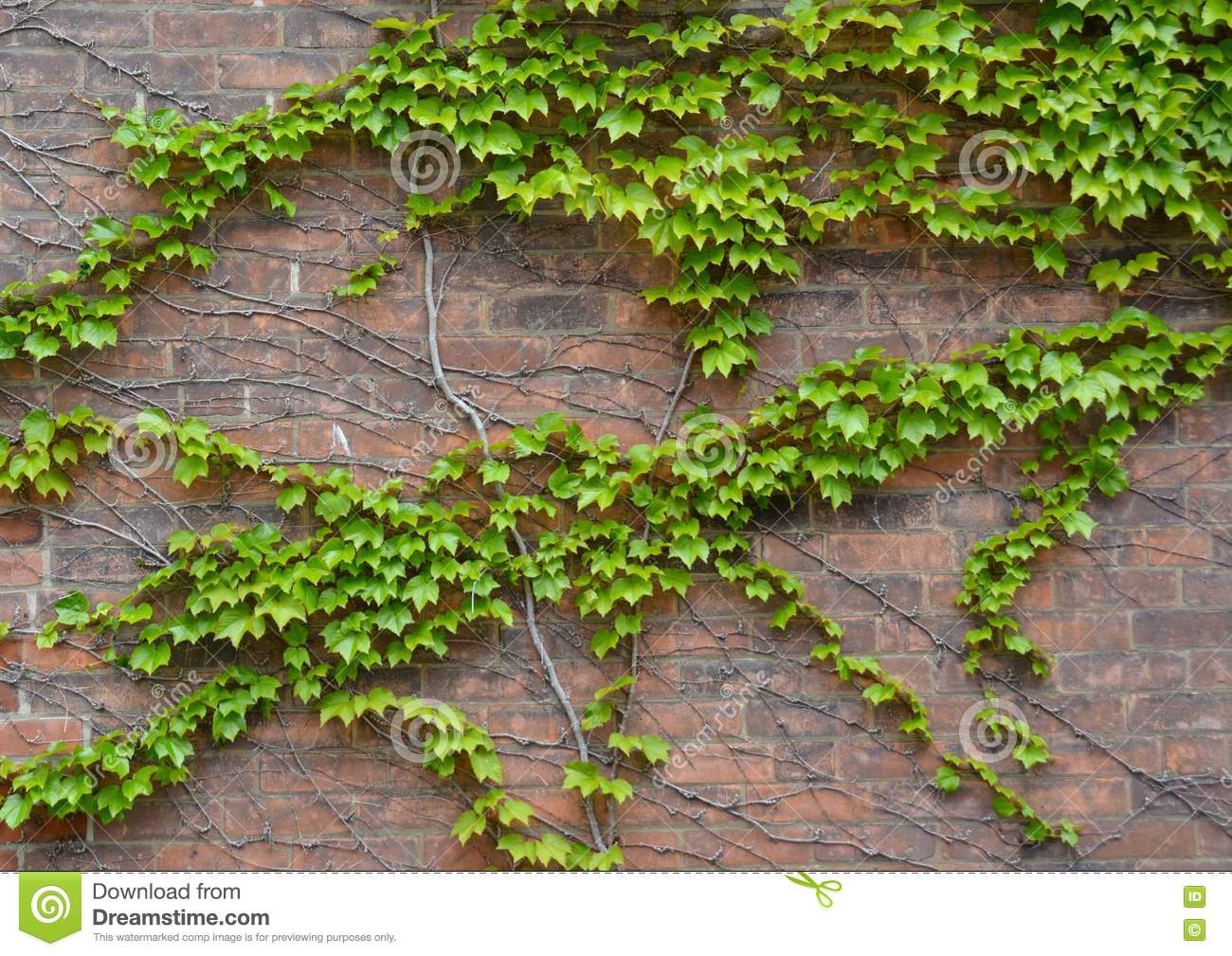 Brick Wall With Vines Stock Image Image Of Fresh Nature