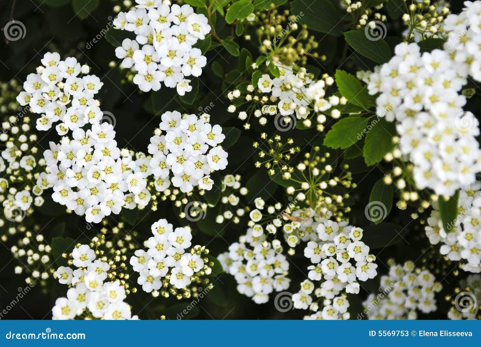 Bridal венок shrub цветков