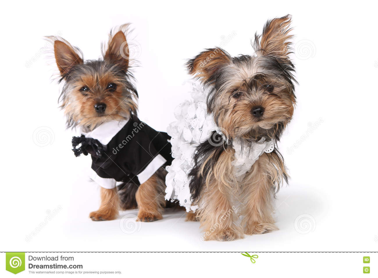 Bride And Groom Yorkshire Terrier Puppies On White Stock Image