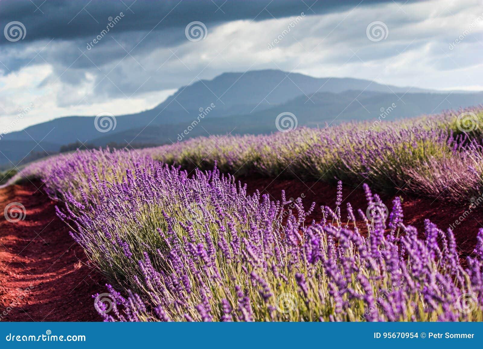 Bridestowe-Lavendelbauernhof, reiner Lavendel, Tasmanien