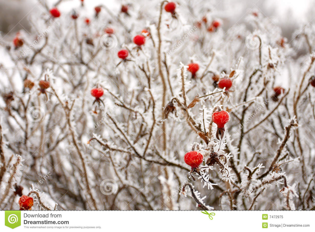 Brier Stock Image Image Of Snow Rose White Frost
