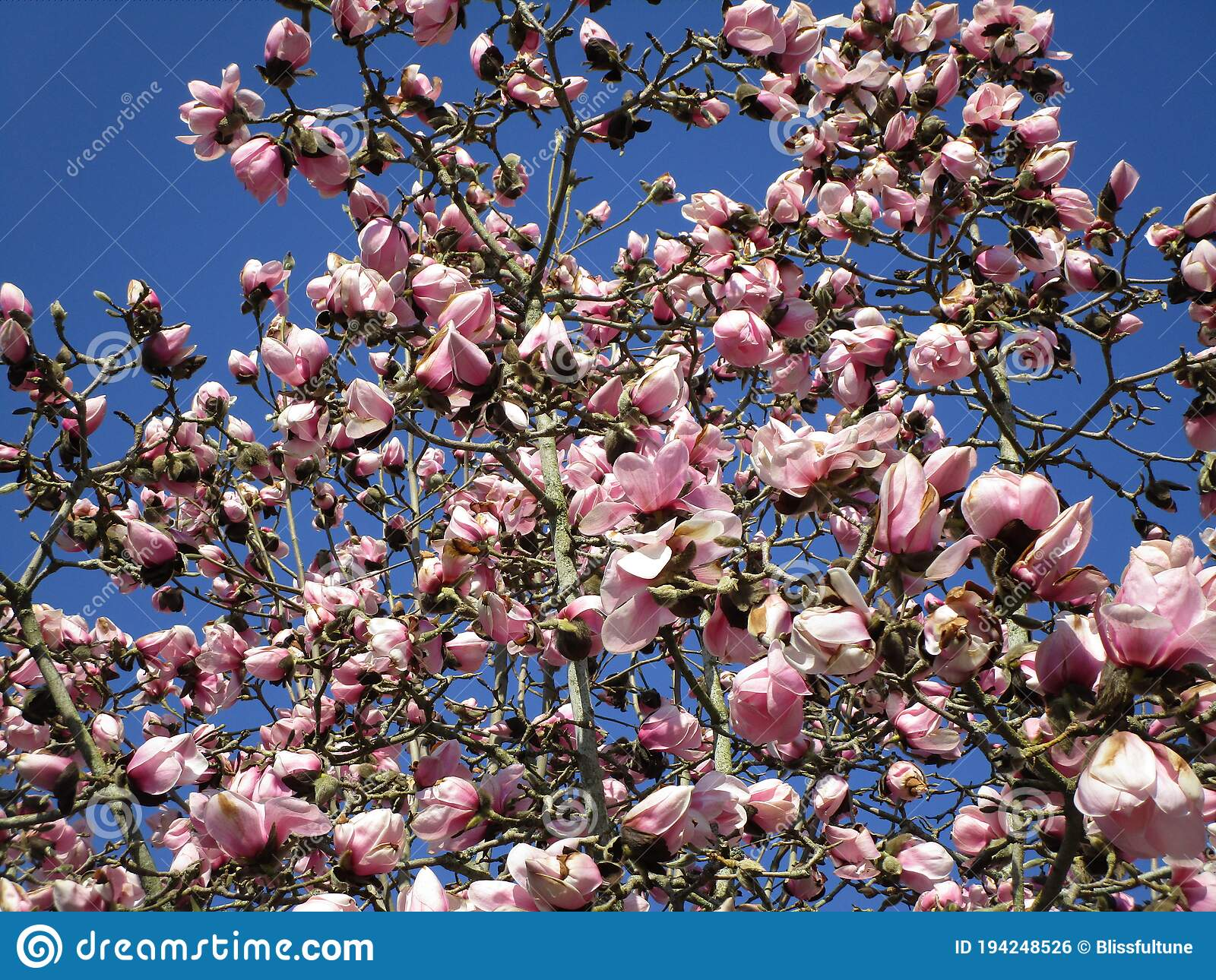 Bright Attractive Fresh Pink Saucer Magnolia Flowers In Beautiful Bloom In Spring 2020 Stock Photo Image Of Blooming Closeup 194248526