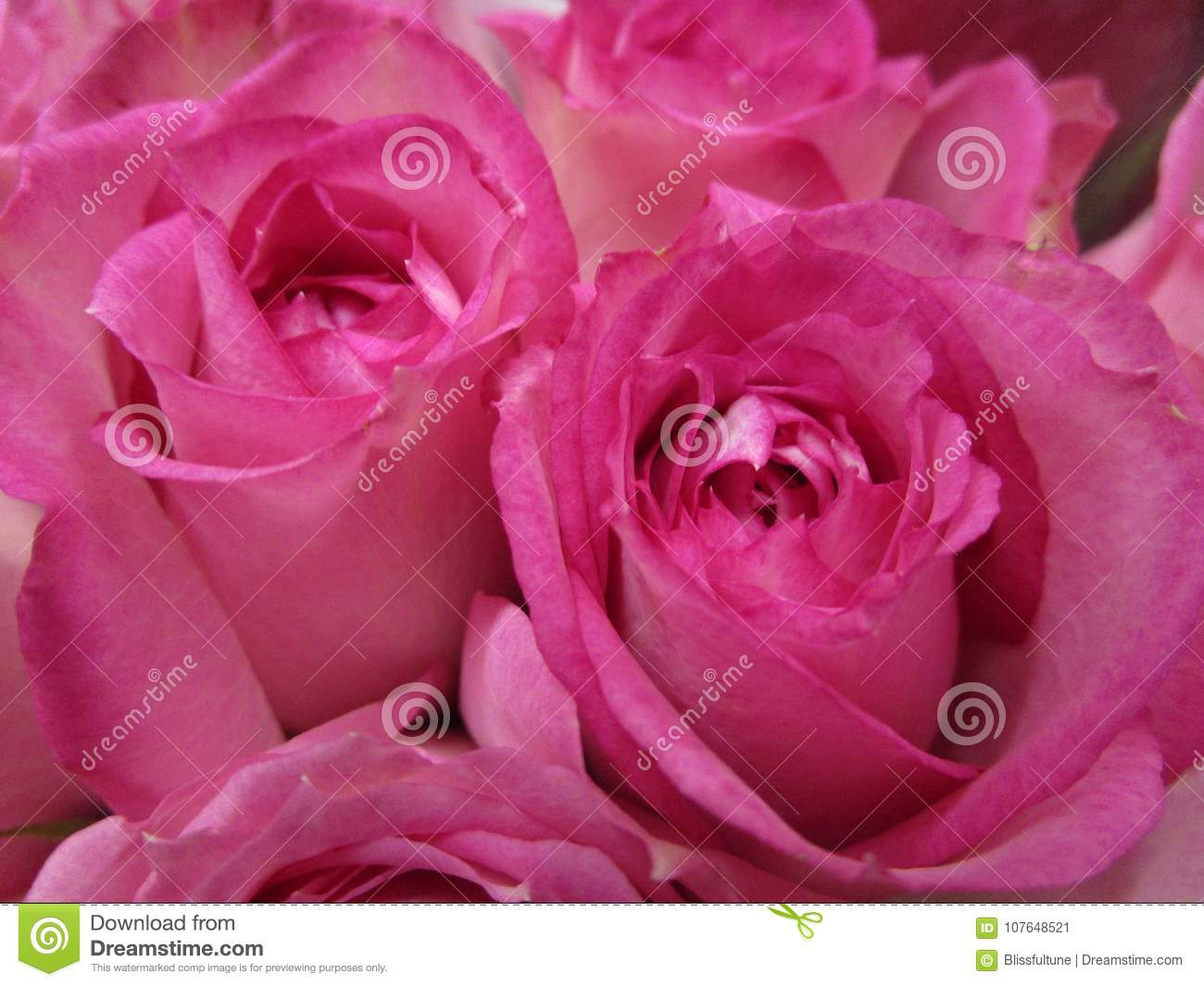 Bright And Attractive Pink Colored Bouquet Rose Flowers Stock Image ...
