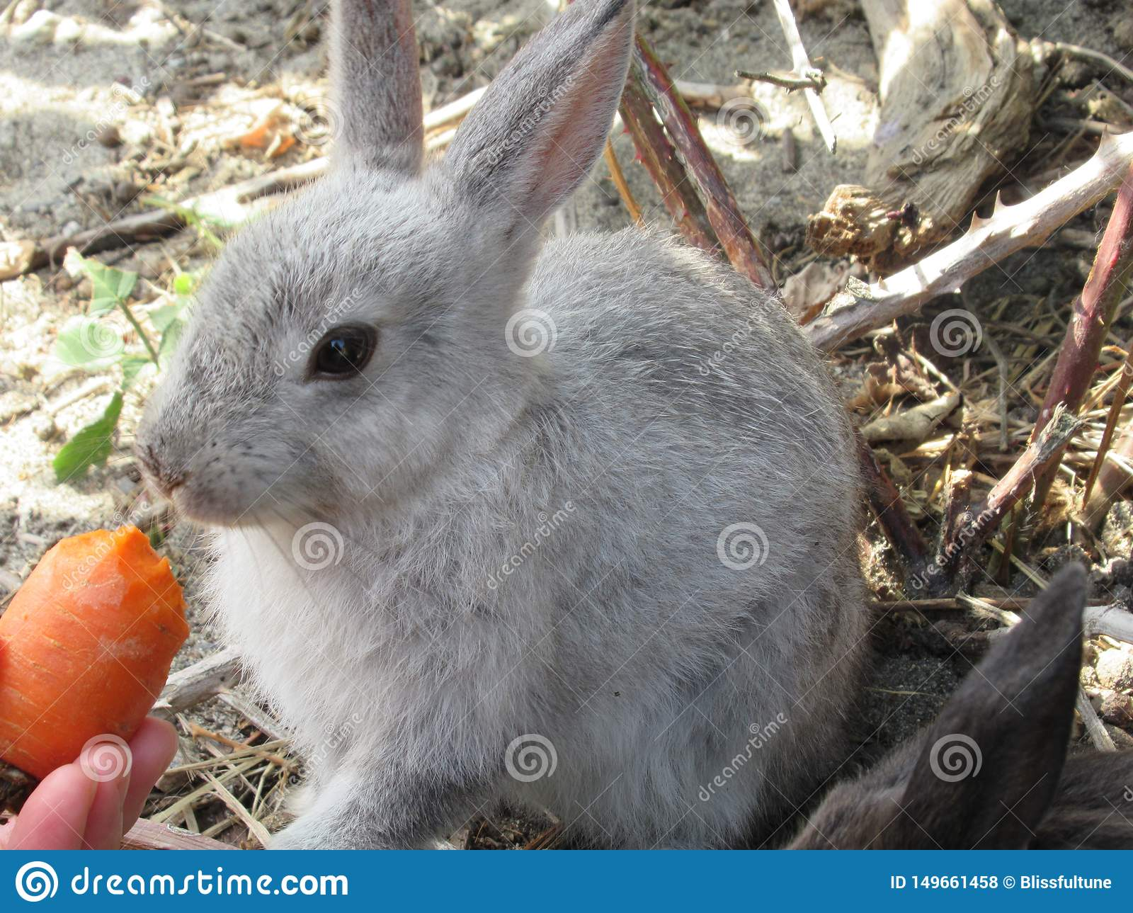 Bright attractive white young bunny rabbit fed a carrot