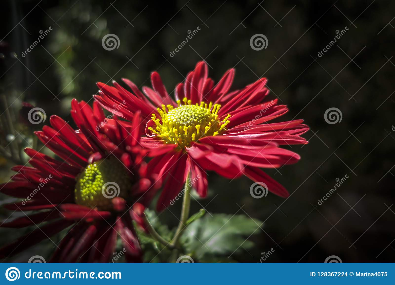 Bright Autumn Colors In Red Flowers Chrysanthemum Coreanum Two