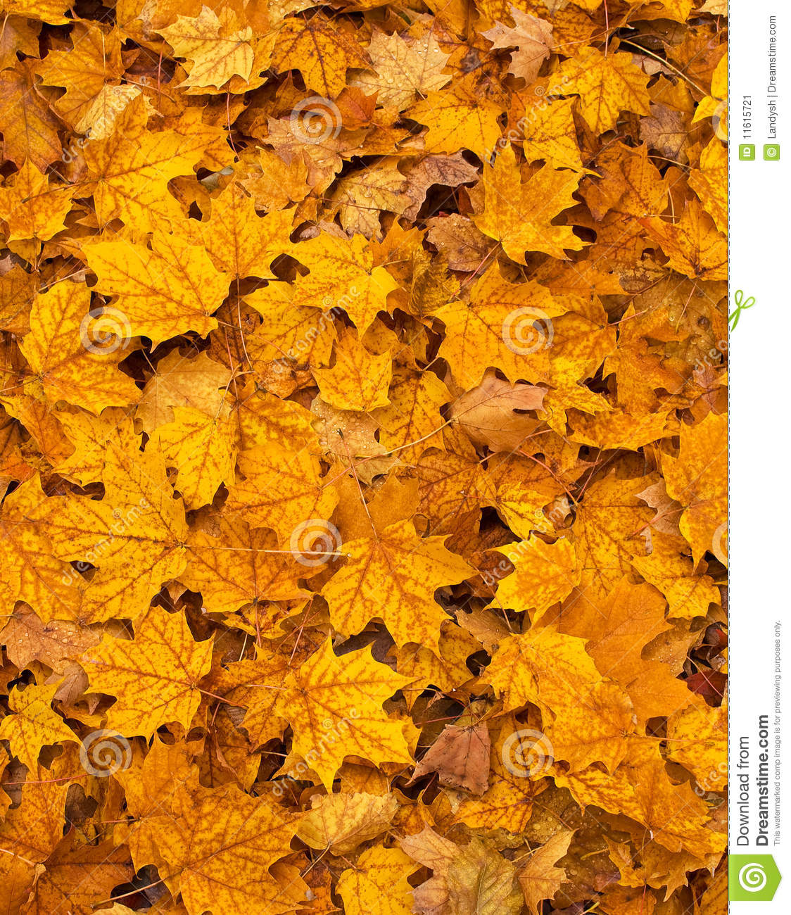 bright autumn maple leaves on the ground stock image