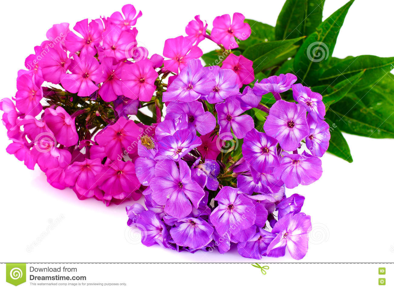 Bright Beautiful Flowers Phlox On White Stock Image Image Of