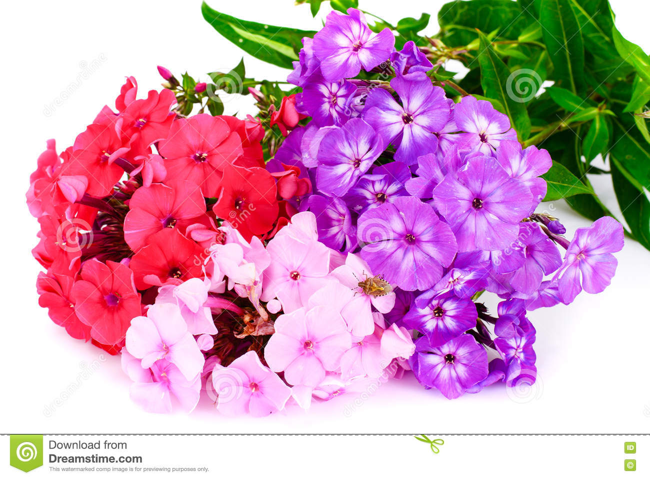Bright Beautiful Flowers Phlox On White Stock Photo Image Of