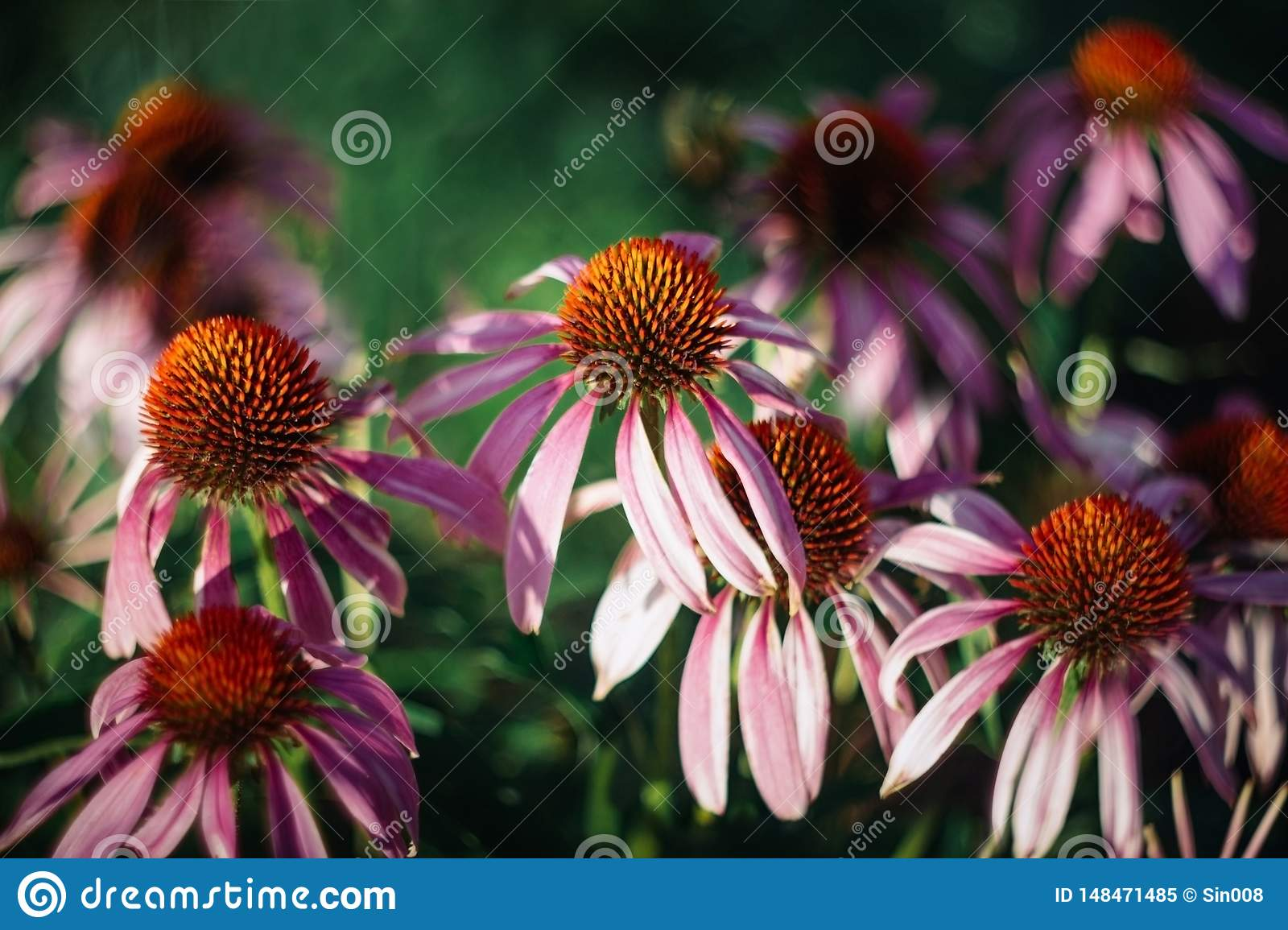 Bright beautiful pink flowers on green background. Echinacea purpurea Magnus. Medicinal useful garden plants