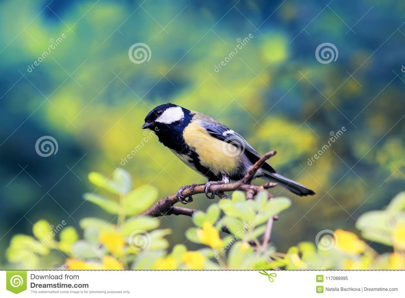 Bright bird tit sitting on a flowering acacia Bush in spring Par