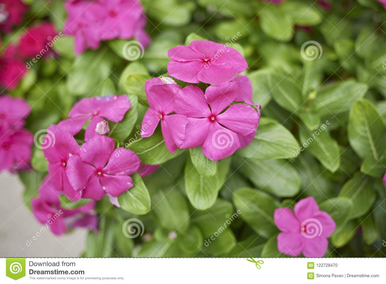 Catharanthus Plants With Red Flowers Stock Photo Image Of