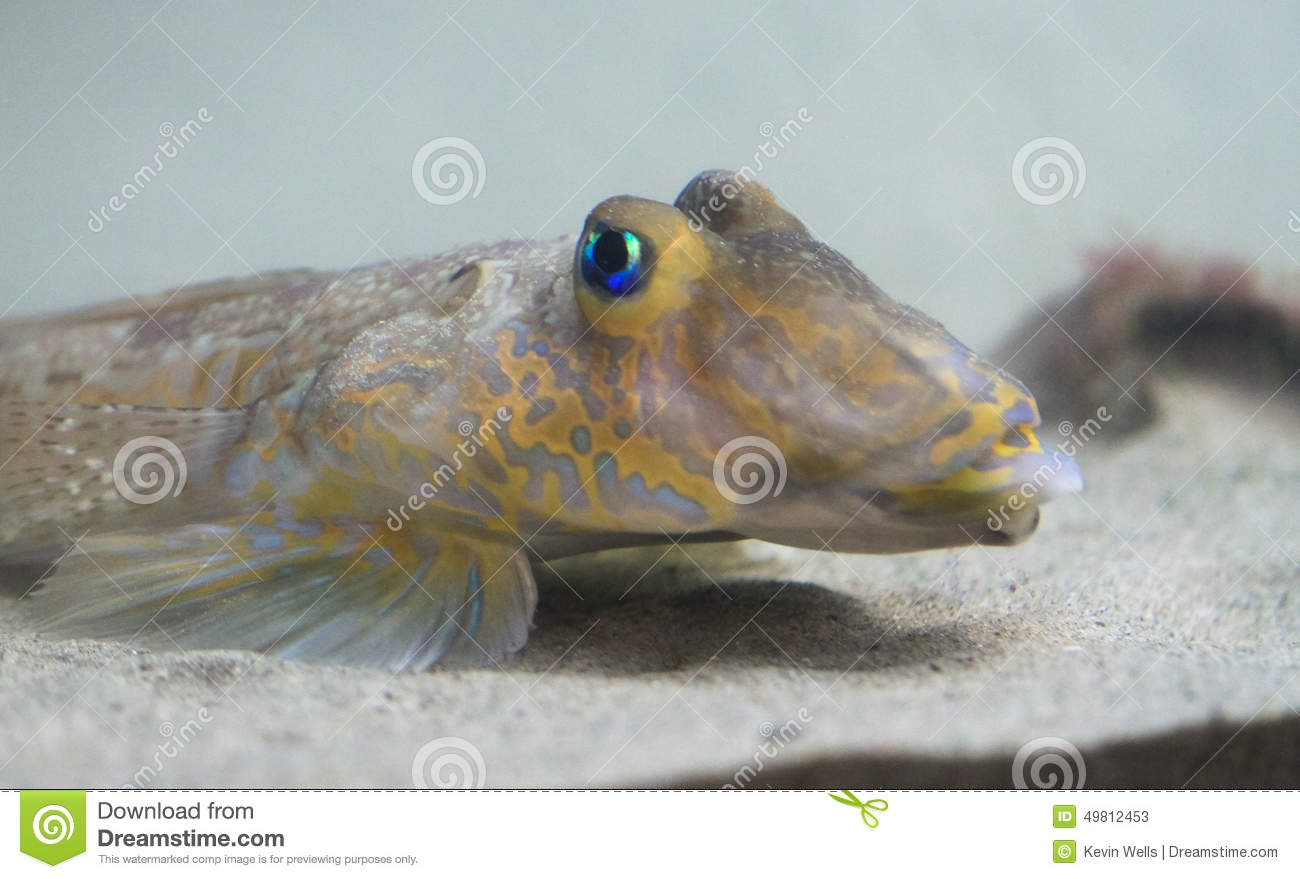 Bright blue eyed bottom feeder fish northern ireland for Bottom feeder fish