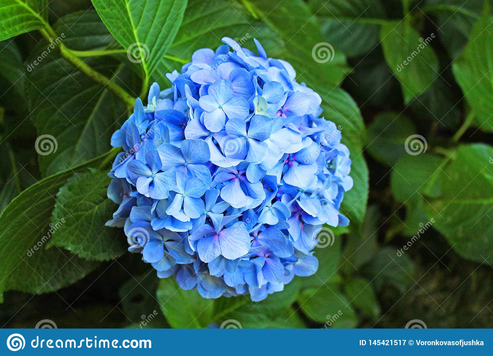 Bright blue flower on a background of green foliage