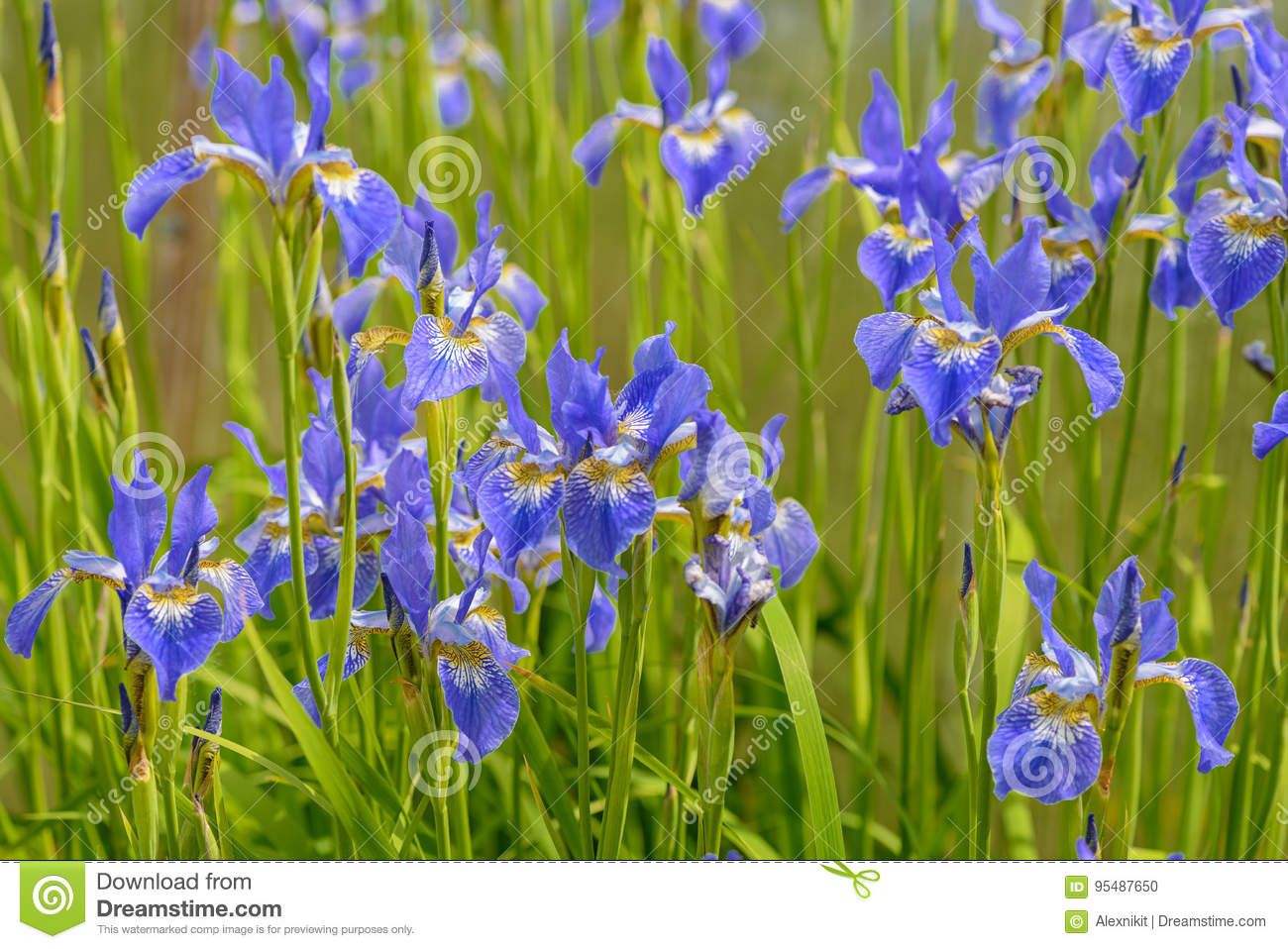 Bright blue iris flowers