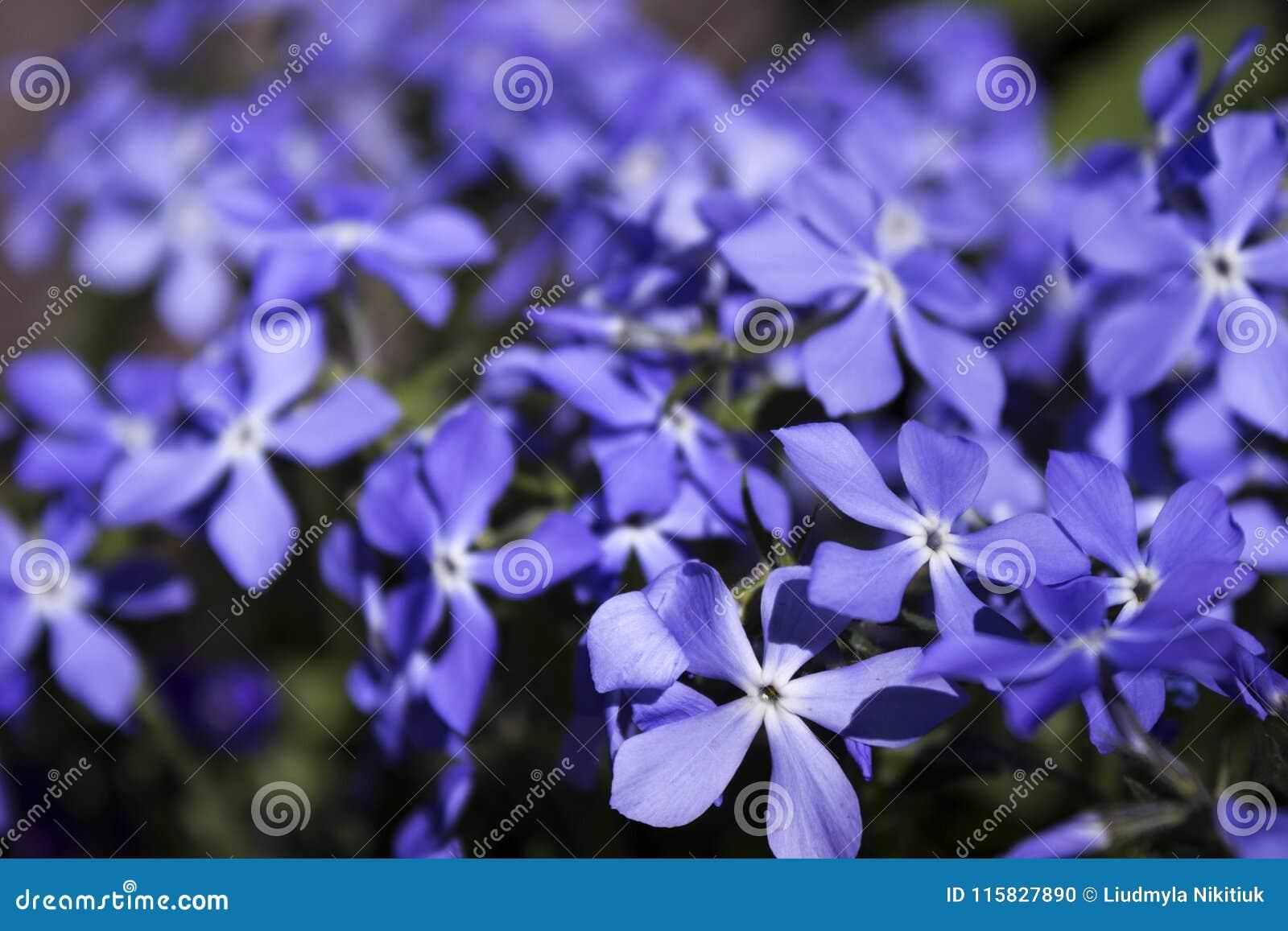Bright Blue Phlox Many Small Spring Flowers Botany Background