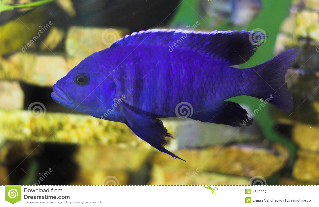 Bright Red And Blue Fish
