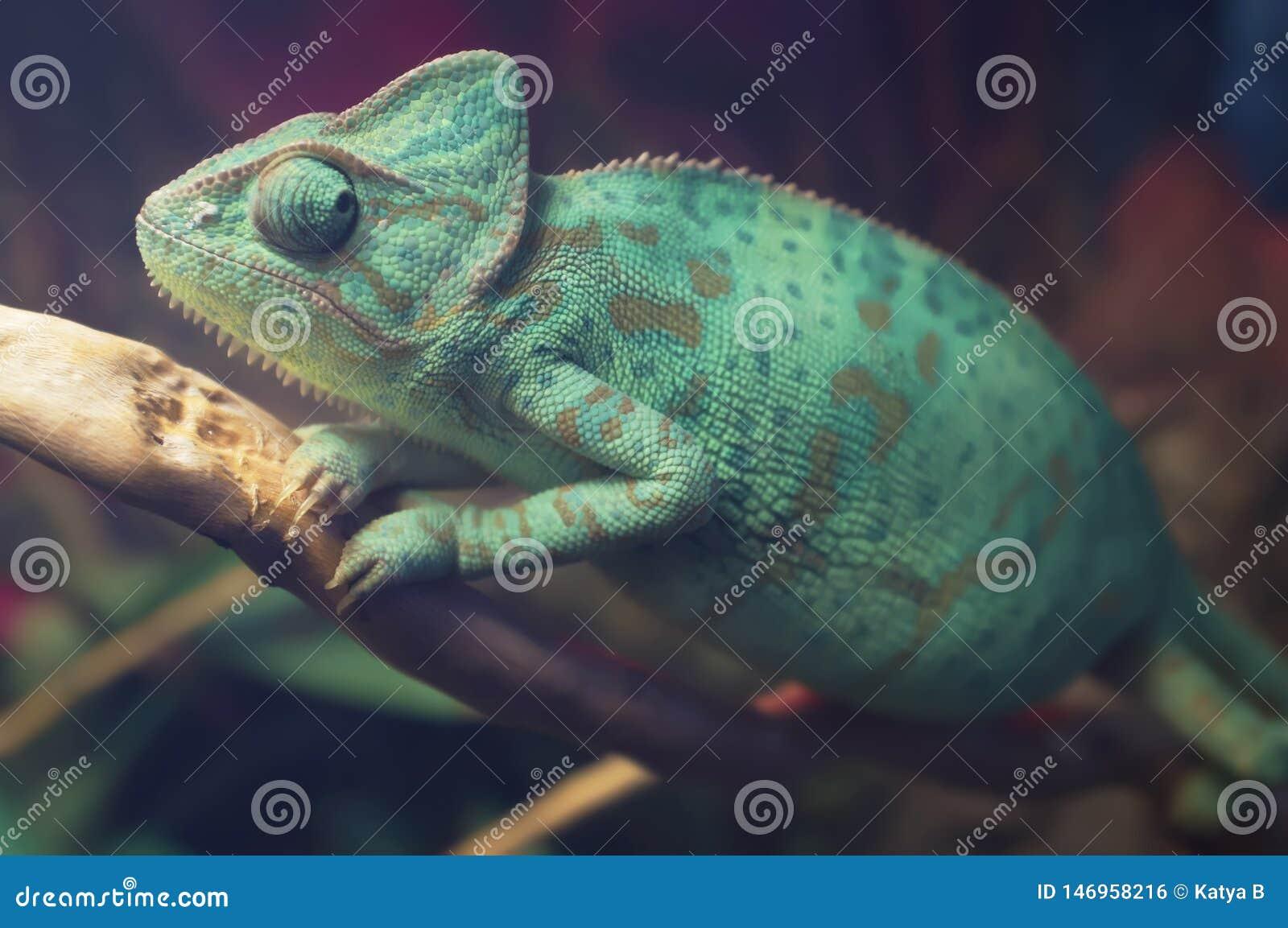 Bright Blue Spotted Chameleon Sitting On The Branch Veiled Chameleon Chamaeleo Calyptratus In Terrarium Close Up Stock Photo Image Of Chamaeleonidae Moscow 146958216