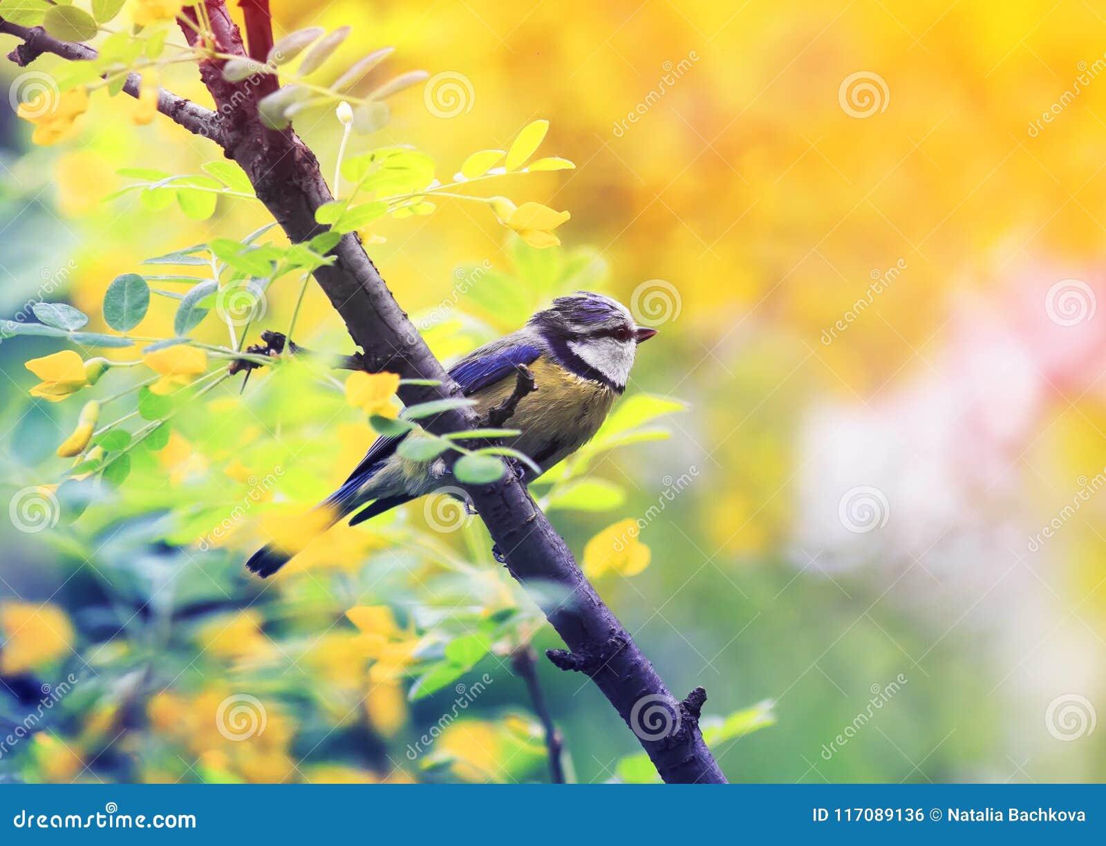 Bright blue tit bird sits on a flowering Bush of acacia i