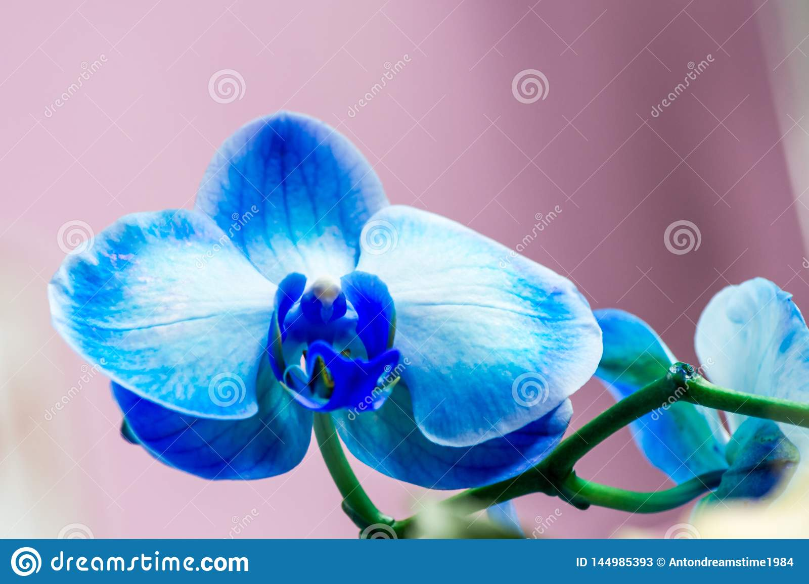 Bright bud of blue color orchid flower close-up macro