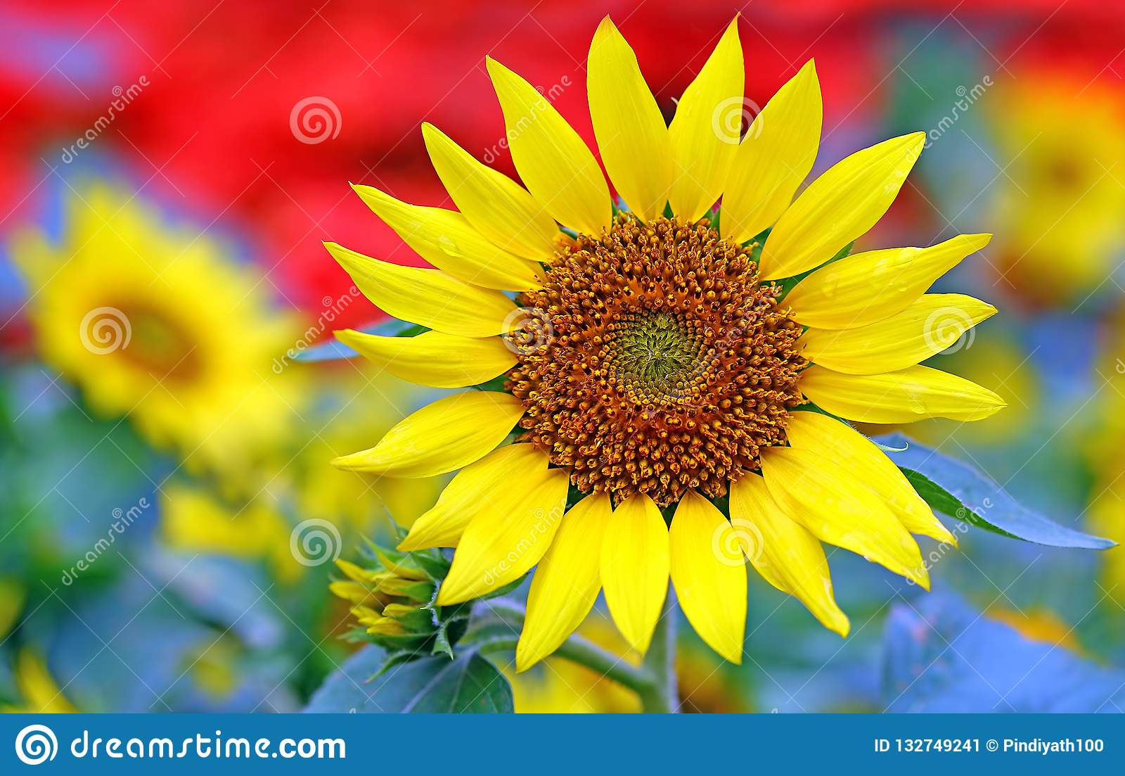 Bright and cheerful sunflower on a sunny day