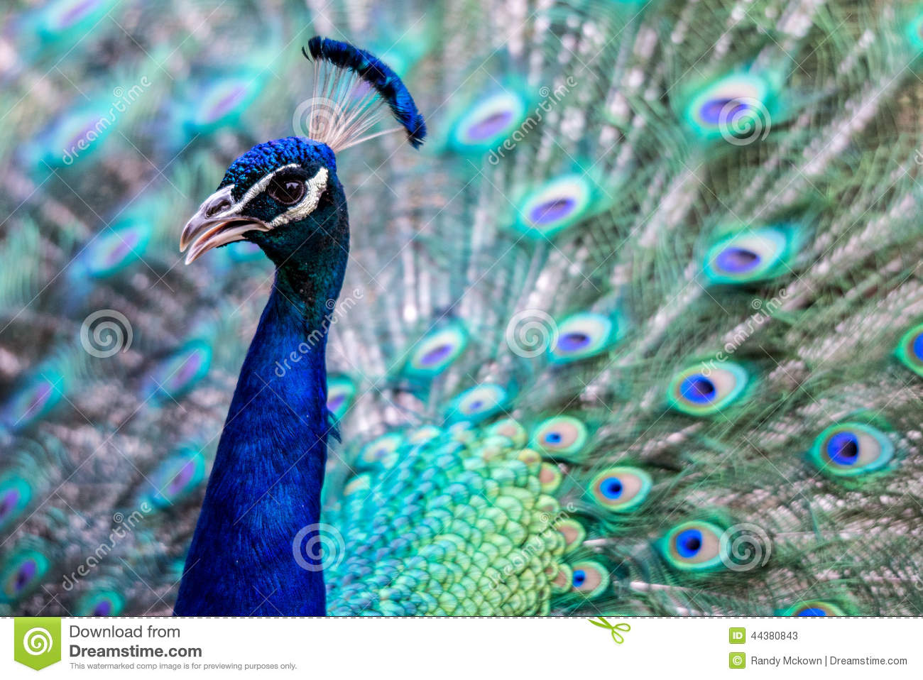 bright colorful peacock stock image image of flared 44380843