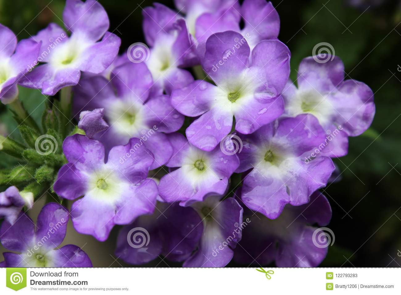 Pretty Purple Flowers With Frilly Petals With Green Leaves Stock