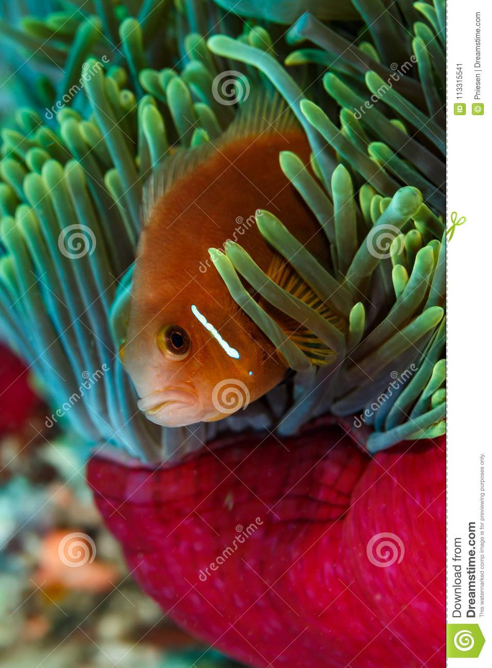Bright Colors Of Clownfish, Anemone Fish, Hiding In Pink And Blue ...