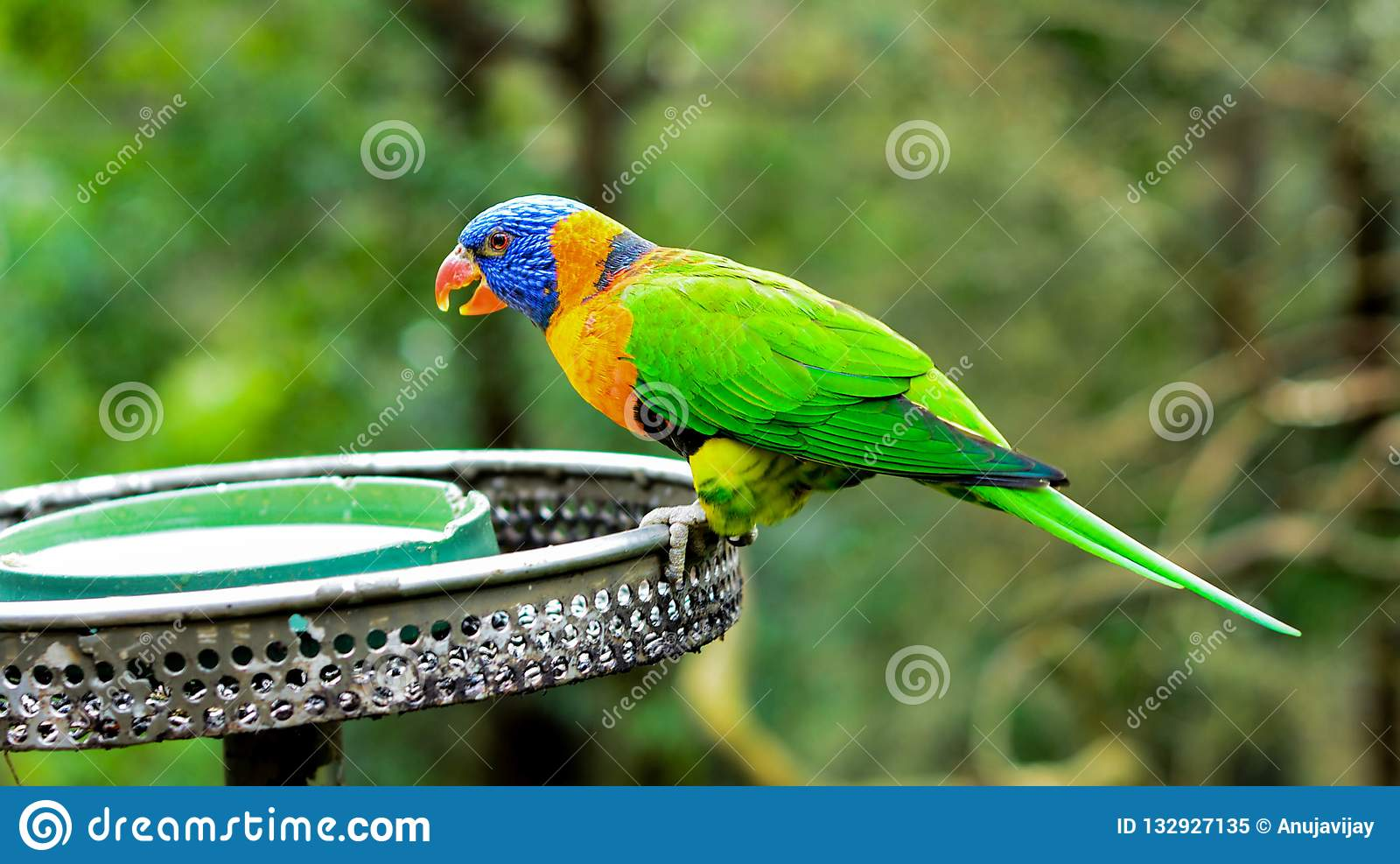 Bright Colourful Lorikeet, Australia