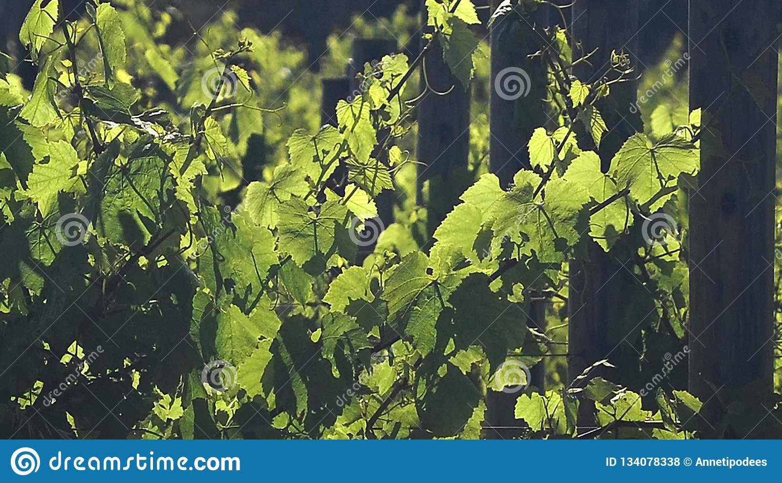 Deliberate variation of more formal photos of grape Vines.