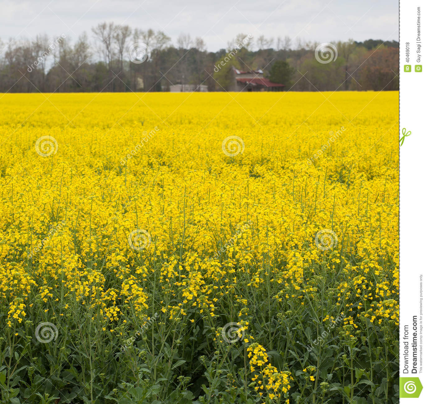 Bright crop stock photo image of flowers carolina yellow 40469018 download bright crop stock photo image of flowers carolina yellow 40469018 mightylinksfo
