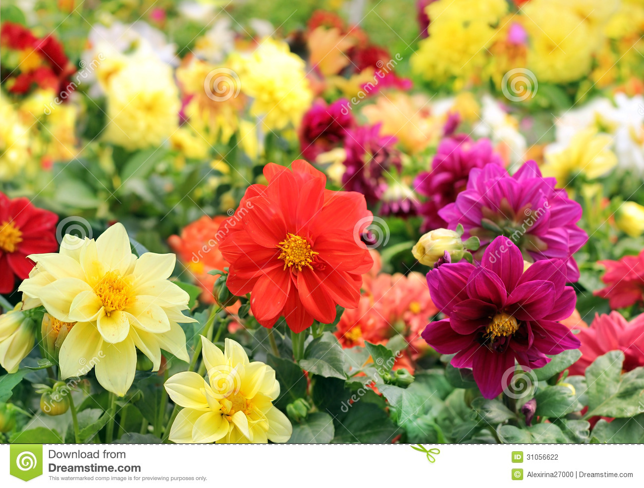 Bright Different Colored Flowers Of Dahlia Stock Photo - Image of ...