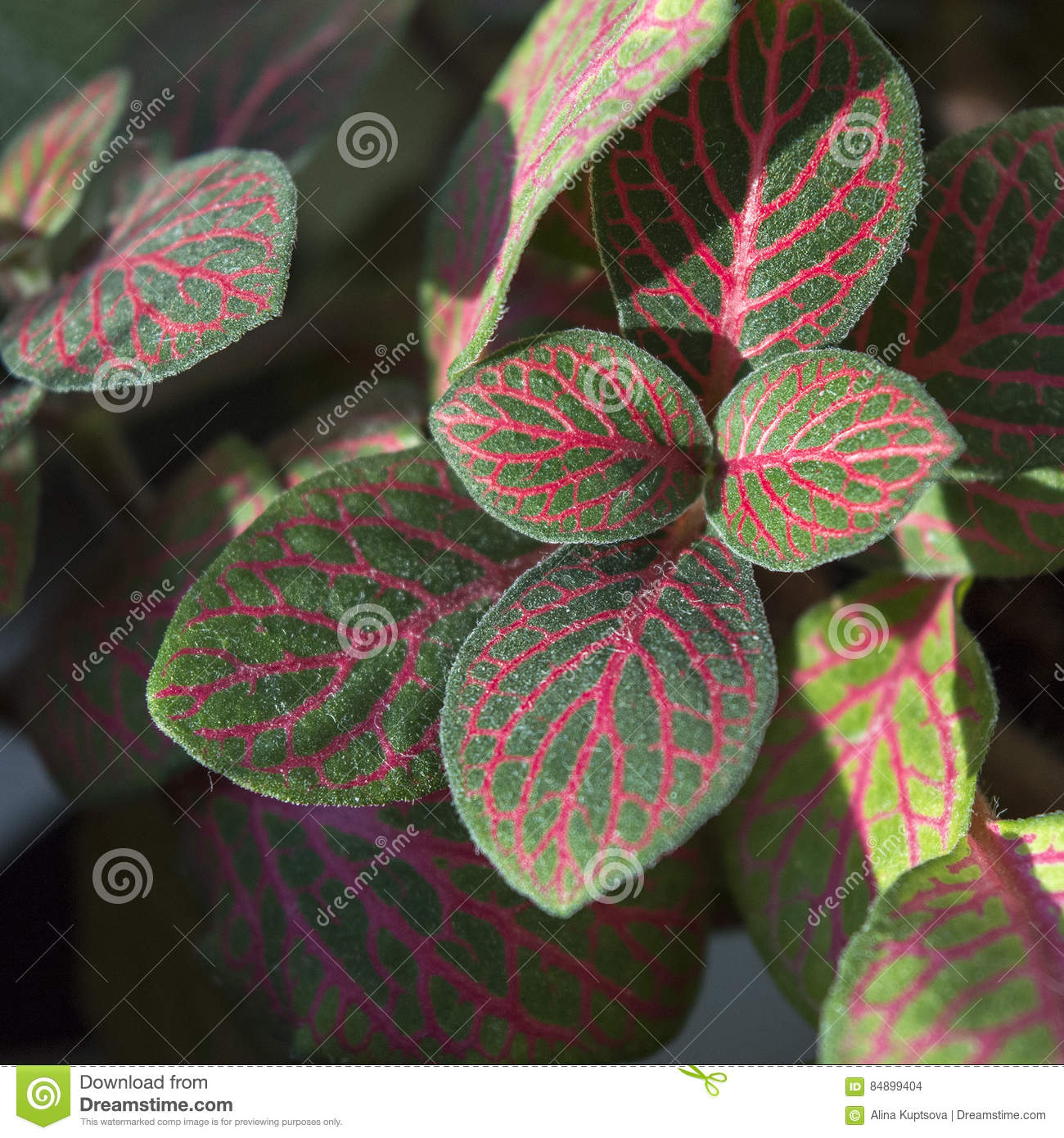 Bright onia Foliage With Red Veins Stock Photo - Image of ... on red and green ground cover, red and green ornamental grass, red and green leaf plant,