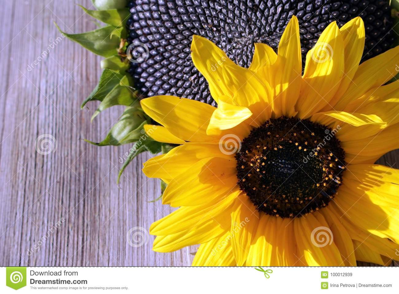 Bright flower of a sunflower with black seeds and bright yellow download bright flower of a sunflower with black seeds and bright yellow flower in the background mightylinksfo