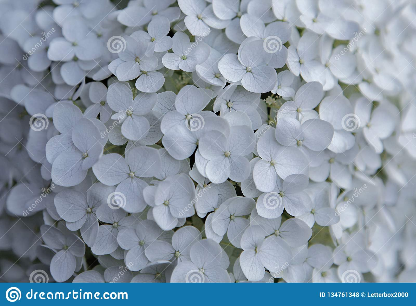 White Hydrangea Flowers On A Summer Day Stock Photo Image Of July