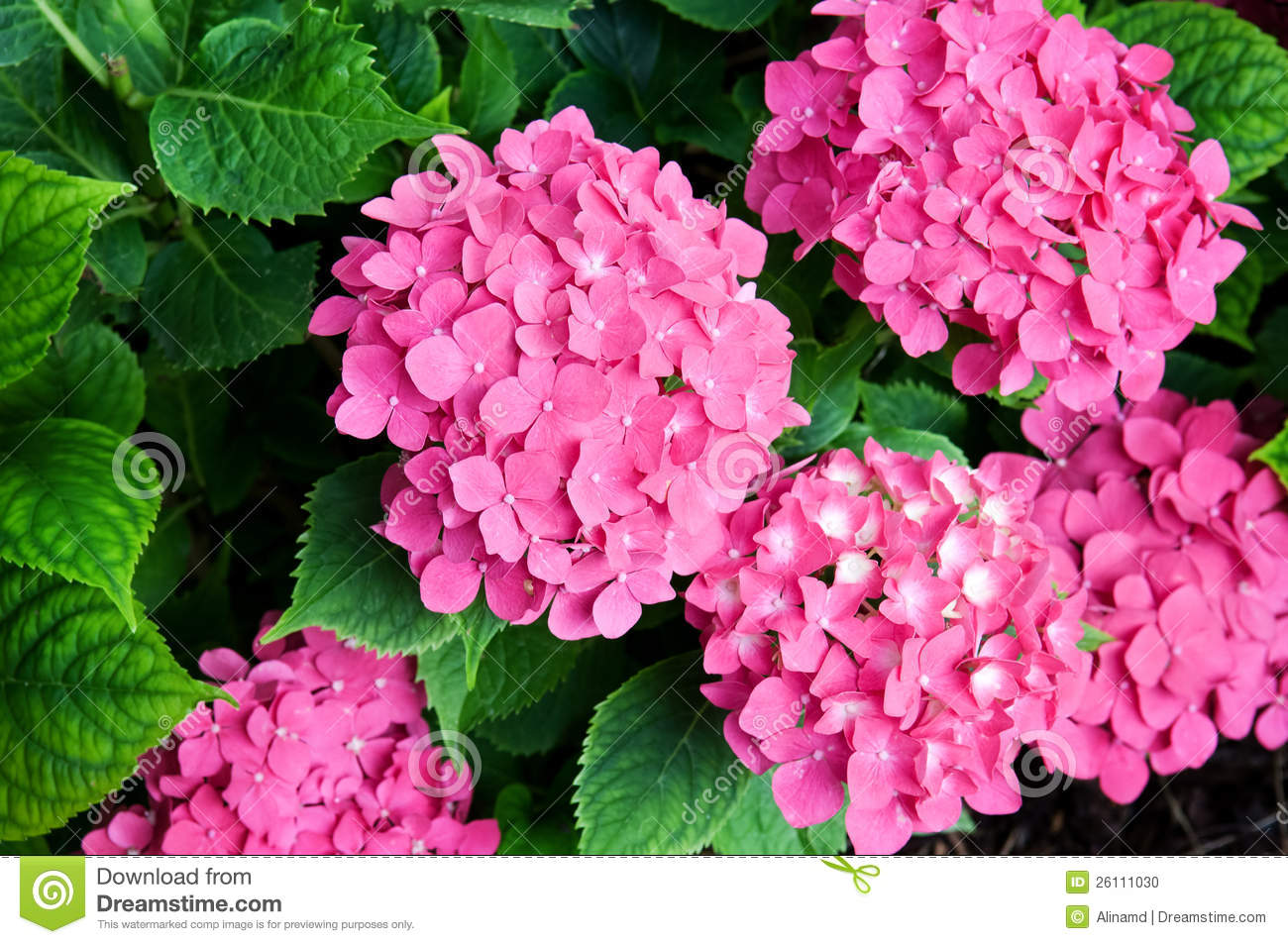 bright flowers hydrangeas stock photo  image, Beautiful flower